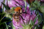 Moss carder bee (Bombus muscorum)